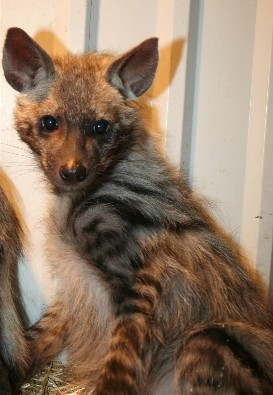 Striped Hyena Exotic Pet Photo