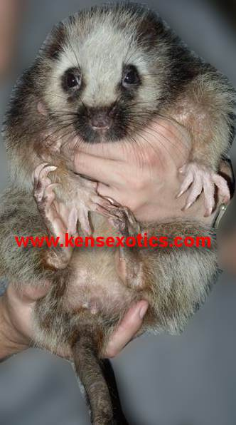 Giant Cloud Rat for Sale