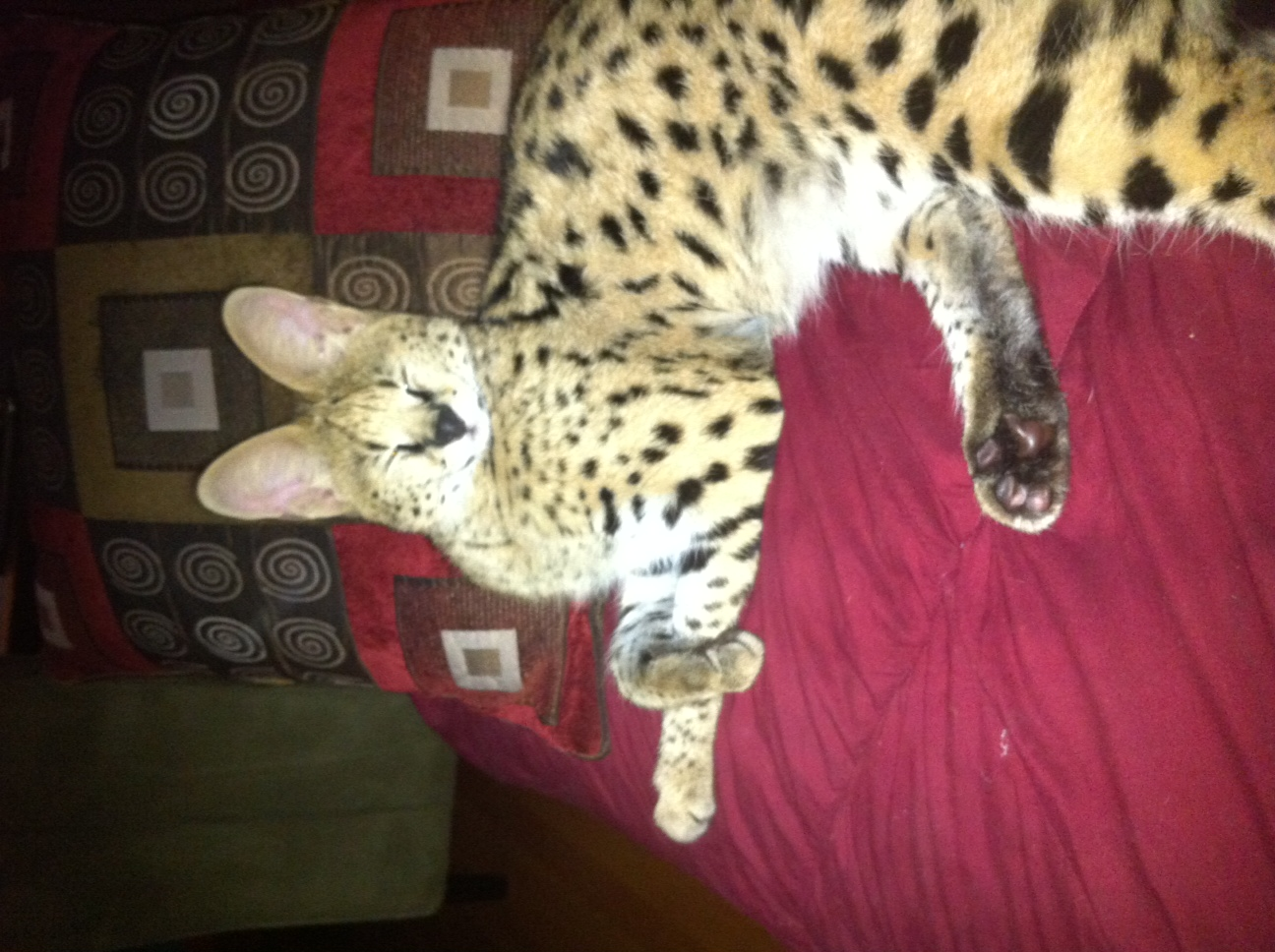 Serval lying on bed